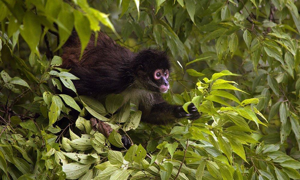 Mono araña en Tikal
